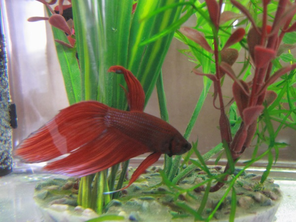 The top 5 best pet fish of all time freshwater stickpets for Easy to take care of fish