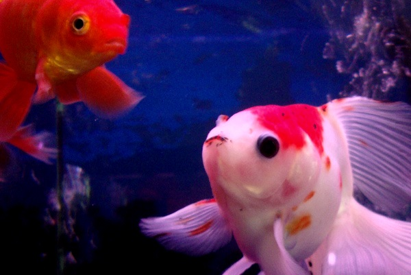 best-pet-fish-goldfish-stickpets2