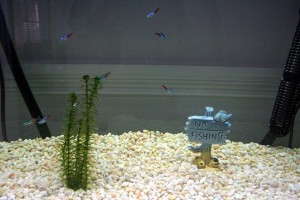 best-pet-fish-neon-tetras-stickpets2