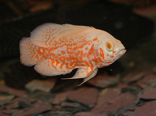 the top 5 best pet fish of all time freshwater stickpets