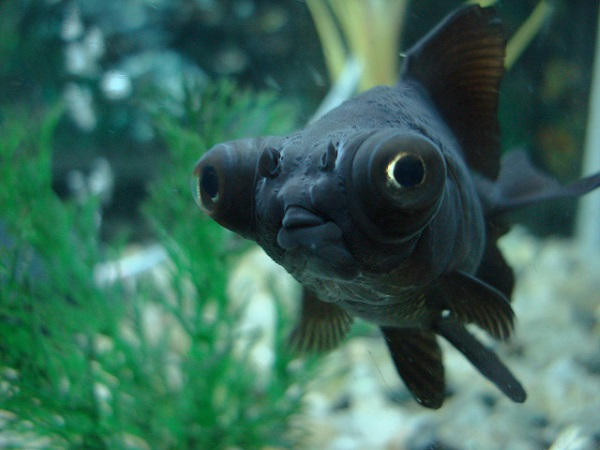 Baby Black Moor Goldfish Black Moor Goldfish Ca...