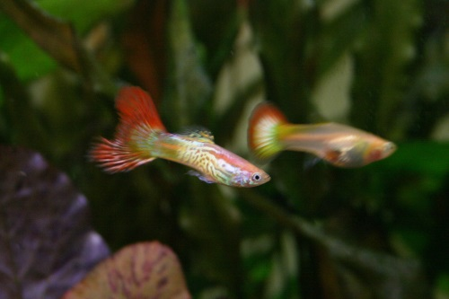 Guppy care everything you need to know stickpets for Guppy fish care