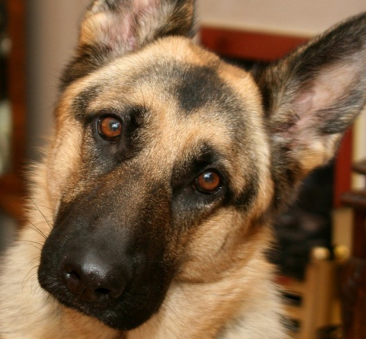 German Shepherds are ranked at #2.