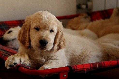 Golden Retrievers have always been up in the rank in popularity.