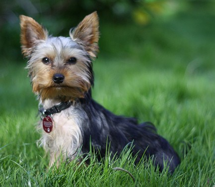 Yorkshire Terriers have risen in popularity.