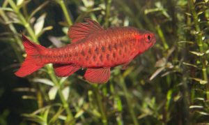 Cherry barbs are an easy fish to take care of.
