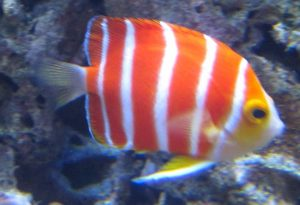 Peppermint Angelfish is a very pretty exotic fish.