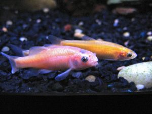Rosy Red Minnows are a good beginner fish.